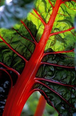 Mangold rubarb chard 10 frö