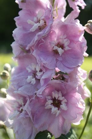 Riddarsporre Magic Fountain Cherry blossom 15 frö