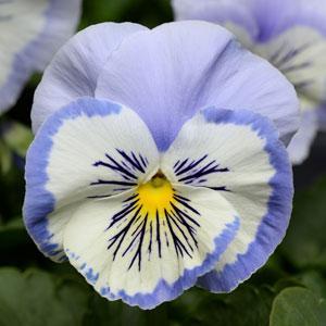Pense Promise Blue White Whiskas 10 frö