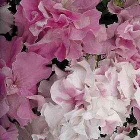 """Buskpetunia dubbel  """"Orchid Mist""""  10 pellets"""