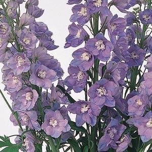 Riddarsporre Guardian Lavender 5 frö