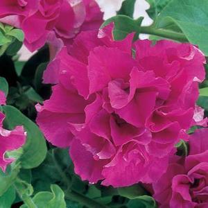 Buskpetunia dubbel   rosa F1 10 frö