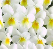 Hängpense  White Yellow Eye  9 frön