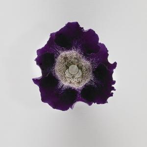 Gloxinia /Sinningia Mix 15 frön