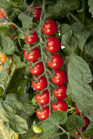 Tomat Sugargloss F1  7  frö