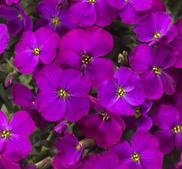 Aubretia Audrey Purple shades