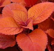 "Palettblad stickling ""Keystone Copper""  1-pack"