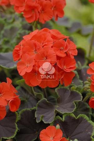 Pelargon Black Velvet Scarlet 4 frö