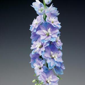 "Riddarsporre ""Excalibur Light Blue White Bee"""