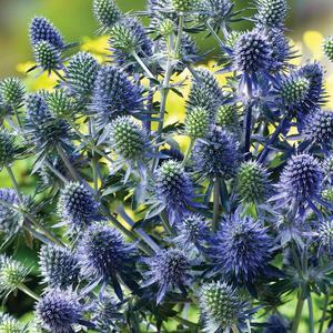 Martorn (rysk) Blue hobbit 15 frön