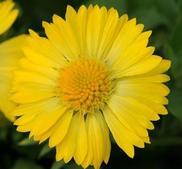 Kokardblomster Mesa Yellow 15 frö