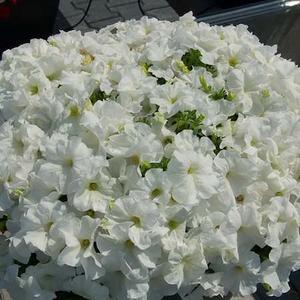 """Petunia """"Mambo White"""" 12 frön"""