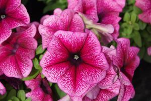 "Petunia ""Mambo Plum"" 12 frön"
