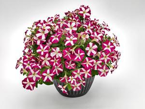"""Petunia """"Success Pink Star"""" 5  frön (kommer snart in)"""