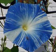 Blomma för dagen Flying Saucer 10 frö