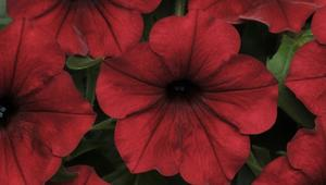 Petunia Tidal wave red velour 7 frö