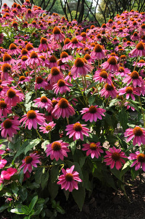 Solhatt Powwow Wildberry 5 frön
