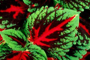 Palettblad Kong Red 5 frön