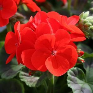 Pelargon Inspire Scarlet 5frö