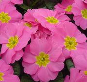 Jordviva Pioneer Pink 12 frön