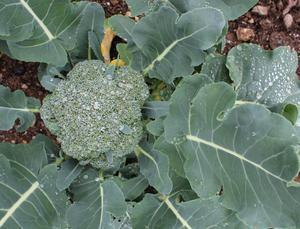 Broccoli  Green Magic 10 frö