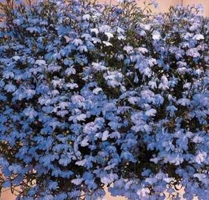 Hänglobelia sky blue  ca 400 frö