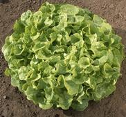 Grön Ekbladssallad Veredes Ekologiska frön 15 pellets