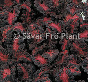 Palettblad black dragon