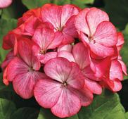"Pelargon ""Pinto Premium Rose Bicolor"" 5 frö"