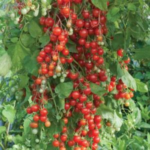 Tomat Körsbärs (vindruvstomat) Sweet million  7 frö(öppet pollinerade)