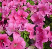 Petunia Limbo Rose vein15 frö
