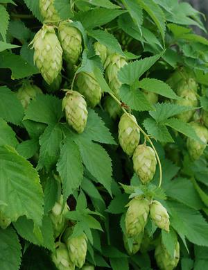 Humle Nordbrau / Northern Brewer vuxen planta,leverans nu eller i Mars