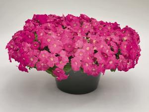 Petunia Success Pink 5 frön