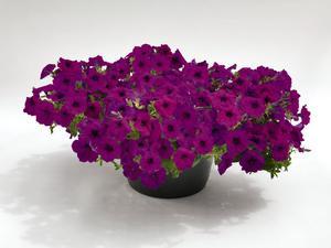Petunia Success Violet 5 frö