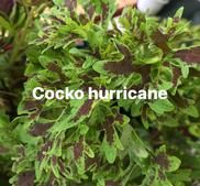 Coco Hurricane