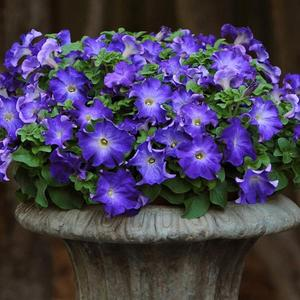"Petunia ""Merlin Blue Morning""  12 frö"