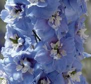 Riddarsporre Magic Fountain sky blue  15 frö