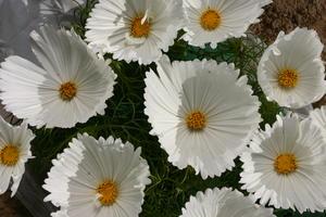 Rosenskära Cupcakes white 8 frö
