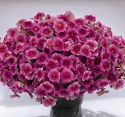 Petunia Success Pink Vein 5 frö