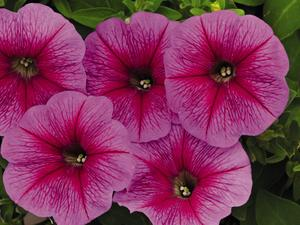 Petunia Success Pink Vein 5 frö