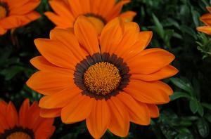 Påfågelsblomster Enorma Orange with ring 8 frö