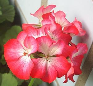 """Pelargon """"Ringo 2000  Scarlet Star"""" 5 frö"""