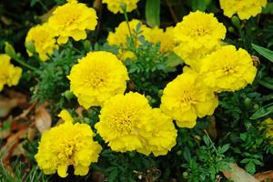 Tagetes Bonanza Yellow 20 frö
