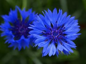 Klint Victoria Blue maid 100 frö