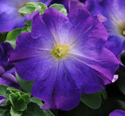 Petunia sophistica blue morning 6 pellets