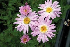 Rosenkrage Robinsons pink 25 frö