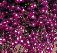 Kantlobelia  Riviera Rose  ca 650 frö
