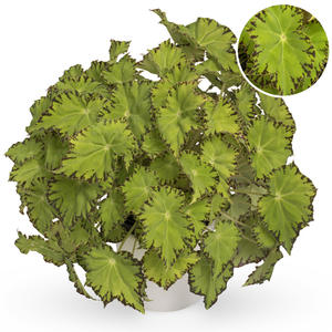 Begonia stickling Beleaf Lima Love 2-pack