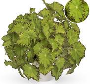 Begonia stickling Beleaf Lima Love 2-pack