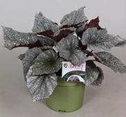Begonia stickling Beleaf Yukon Frost 2-pack -leverans Mars-April